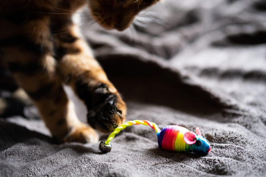 Cute Bengal Cat Plays with Rainbow Toy Mouse.